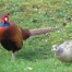 20% Discount Breaks Blog Post - Local Pheasants