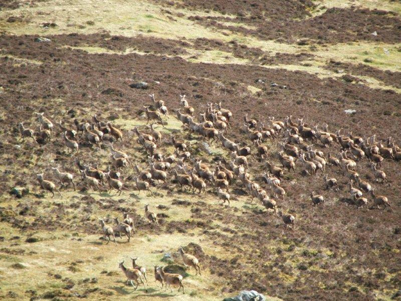 Stags on hill